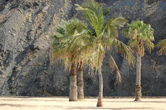 Famous beach Playa de las Teresitas, Tenerife, Canary islands, Spain. Horizontal shot of couple of palm trees on one of the most popular beaches in Tenerife Royalty Free Stock Photography
