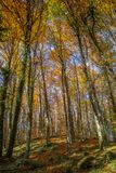 Famous beech forest in Spain, near the village Olot, near the volcanoes ambient La Fageda.  royalty free stock images