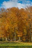 Famous beech forest in Spain, near the village Olot, near the volcanoes ambient La Fageda.  stock images