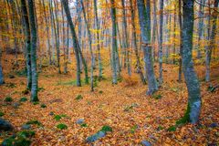 Famous beech forest in Spain, near the village Olot, near the volcanoes ambient La Fageda.  stock photos