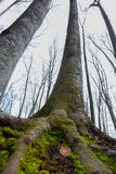 Famous beech forest in Spain, near the village Otot, near the volcanoes ambient La Fageda.  royalty free stock photo