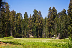 Famous big sequoia trees are Stock Images