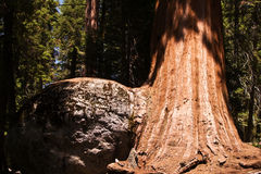 Famous big sequoia trees are Stock Image