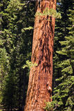 Famous big sequoia trees are Royalty Free Stock Photo
