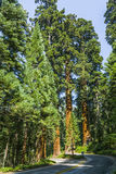 Famous big sequoia trees Royalty Free Stock Photography