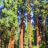 Famous big sequoia trees. The famous big sequoia trees are standing in Sequoia National Park, Giant village area , big famous Sequoia trees, mammut trees stock photography