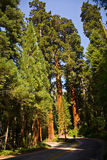 The famous big sequoia trees are Stock Photo