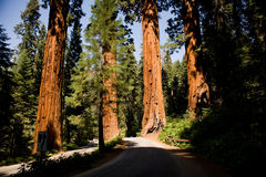 The famous big sequoia trees are Royalty Free Stock Photos