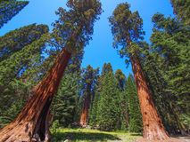 The famous big sequoia trees are standing Stock Photography