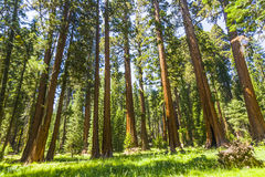 The famous big sequoia trees are standing in Sequoia National Park, Giant village area Royalty Free Stock Images