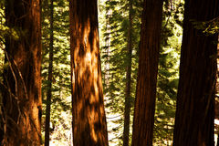 Famous big sequoia trees are standing in Sequoia National Park Stock Photography