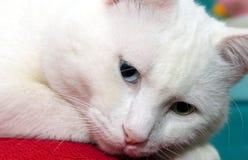 Famous范Cat 免版税库存图片