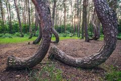 Famous Crooked Forest. Mysterious pine trees in Crooked Forest in Nowe Czarnowo village of Poland stock photography