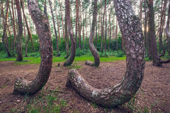 Famous Crooked Forest. Crooked Forest - famous tourist attraction in Nowe Czarnowo village, Poland royalty free stock photos