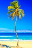 The famous cuban beach of Varadero. Coconut palm tree on the beautiful cuban beach of Varadero on a lovely sunny summer day Stock Image