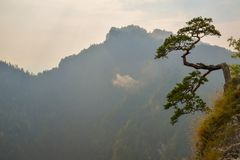 Famous curved pine tree on the top of Sokolica peak in Pieniny, Poland Stock Images