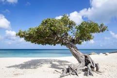 Divi Divi Tree on Eagle Beach Aruba, Caribbean #1. The Famous Divi Divi Tree on Eagle Beach Aruba Island #1 Stock Images