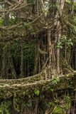 Famous Double Decker living roots bridge near Nongriat village, Cherrapunjee, Meghalaya, India. This bridge is formed by training tree roots over years to knit Royalty Free Stock Images