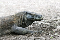 Famous dragon lizard, Komodo Island (Indonesia) Royalty Free Stock Image