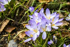 The famous early bloomer is blooming in these colors. The famous early bloomer `crocus` is blooming in these colors in spring time Royalty Free Stock Photos
