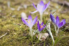 The famous early bloomer is blooming in these colors. The famous early bloomer `crocus` is blooming in these colors in spring time Stock Photography