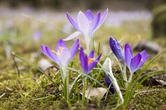 The famous early bloomer is blooming in these colors. The famous early bloomer `crocus` is blooming in these colors in spring time Stock Image