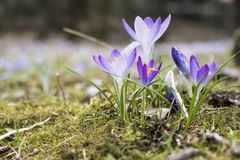 The famous early bloomer is blooming in these colors. The famous early bloomer `crocus` is blooming in these colors in spring time Royalty Free Stock Photo