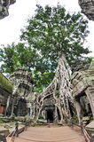 Famous fig tree on wall of Ta Prohm temple Stock Photography