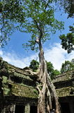 Famous fig tree on wall of Ta Prohm temple Royalty Free Stock Image