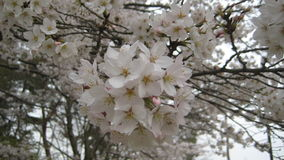 Famous flower, Sakura royalty free stock photography