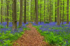 Famous forest Hallerbos in Brussels Belgium. Nature background stock images