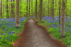 Famous forest Hallerbos in Brussels Belgium royalty free stock image
