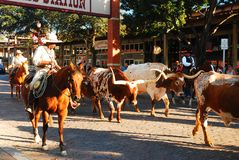 Round up in Fort Worth. The Famous Ft Worth Stockyards Cattle Drive goes through the streets of the historic district royalty free stock photography