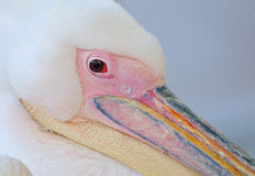 Famous Georgia Pelican  of mykonos, cyclades , Greece Stock Images