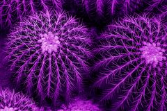 Famous golden barrel cactus Echinocactus grusonii in the bright. Purple toning royalty free stock image