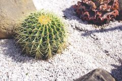 Famous golden barrel cactus Echinocactus grusonii Hildm stock images