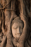 The famous Head of Buddha statue in the tree roots at Wat Mahath Royalty Free Stock Images