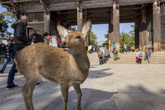 The famous and historical TodaiJi in Nara Park Stock Photo