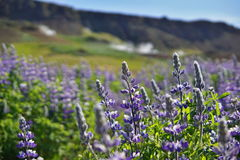 Famous Icelandic violet blooming flowers Lupins in scenic view with mountains, steaming hot creeks and horses. Famous Icelandic violet blooming flowers & x28 Royalty Free Stock Photography