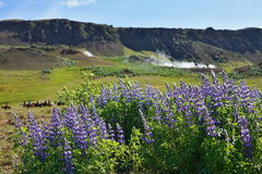 Famous Icelandic violet blooming flowers Lupins in scenic view with mountains, steaming hot creeks and horses Royalty Free Stock Photos