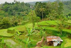 Famous Jatliluwih rice paddy and rundown cow shelter Royalty Free Stock Images