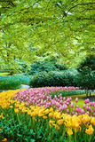 Famous Keukenhof garden, Holland. Beautiful field of tulips in Keukenhof garden, Holland stock photo