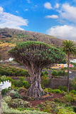 Famous Millennial Dragon Tree in Tenerife - Canary Royalty Free Stock Images
