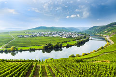 Famous Moselle Sinuosity with vineyards near Trittenheim. Famous Moselle Sinuosity in Trittenheim, Germany Stock Photo