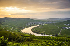 Famous Moselle Sinuosity with vineyards near Trittenheim Royalty Free Stock Images