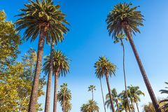 Famous palms of Beverly Hills in Los Angeles stock photos