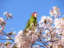 Famous Parrot in San Francisco North Beach Royalty Free Stock Photos
