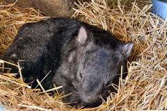 Famous Patrick the Wombat at Ballarat Wildlife Park one month before his death Stock Photos