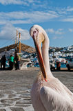 Famous pelican in Mykonos. The famous pelican at seaside of Mykonos, Greece Royalty Free Stock Photography