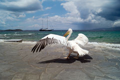 The famous Pelican of Mykonos island Stock Image
